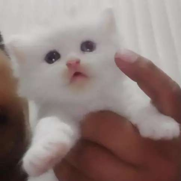 Kitten - Cat - Buy and Sell Pets in Faislabad