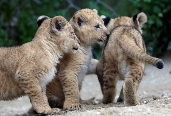 lion - Lion - Buy and Sell Pets in Lahore