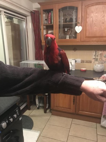 Raw Parrot - Bird - Buy and Sell Pets in Faislabad