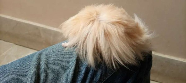 Hamsters long haired - Mouse Hamsters Rats - Buy and Sell Pets in Karachi