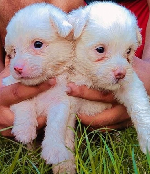 poodle puppy - Dog - Buy and Sell Pets in Lahore