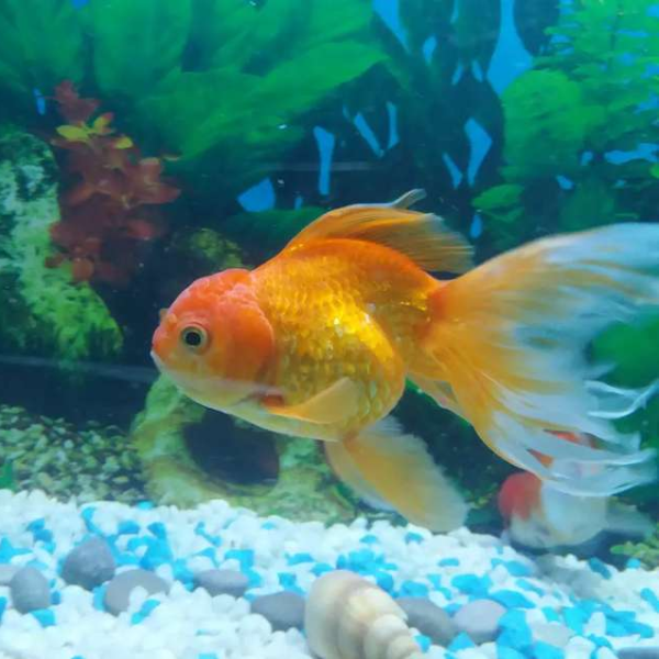 Lionhead goldfish jumbo size - Fish - Buy and Sell Pets in Karachi