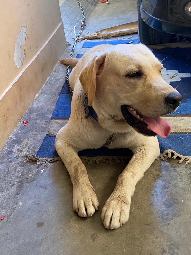 labrador - Dog - Buy and Sell Pets in Karachi