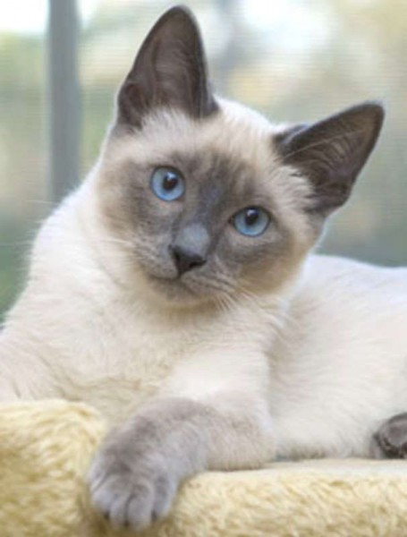 Ragdoll - Cat - Buy and Sell Pets in Lahore
