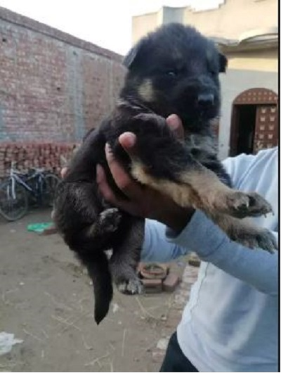 Dorry Dog Dog Buy And Sell Pets In Lahore Pakistan
