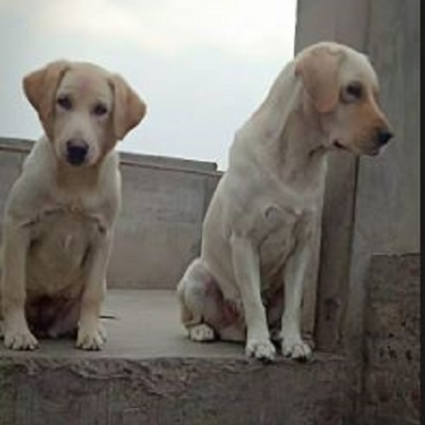 maza - Dog - Buy and Sell Pets in Lahore, Pakistan