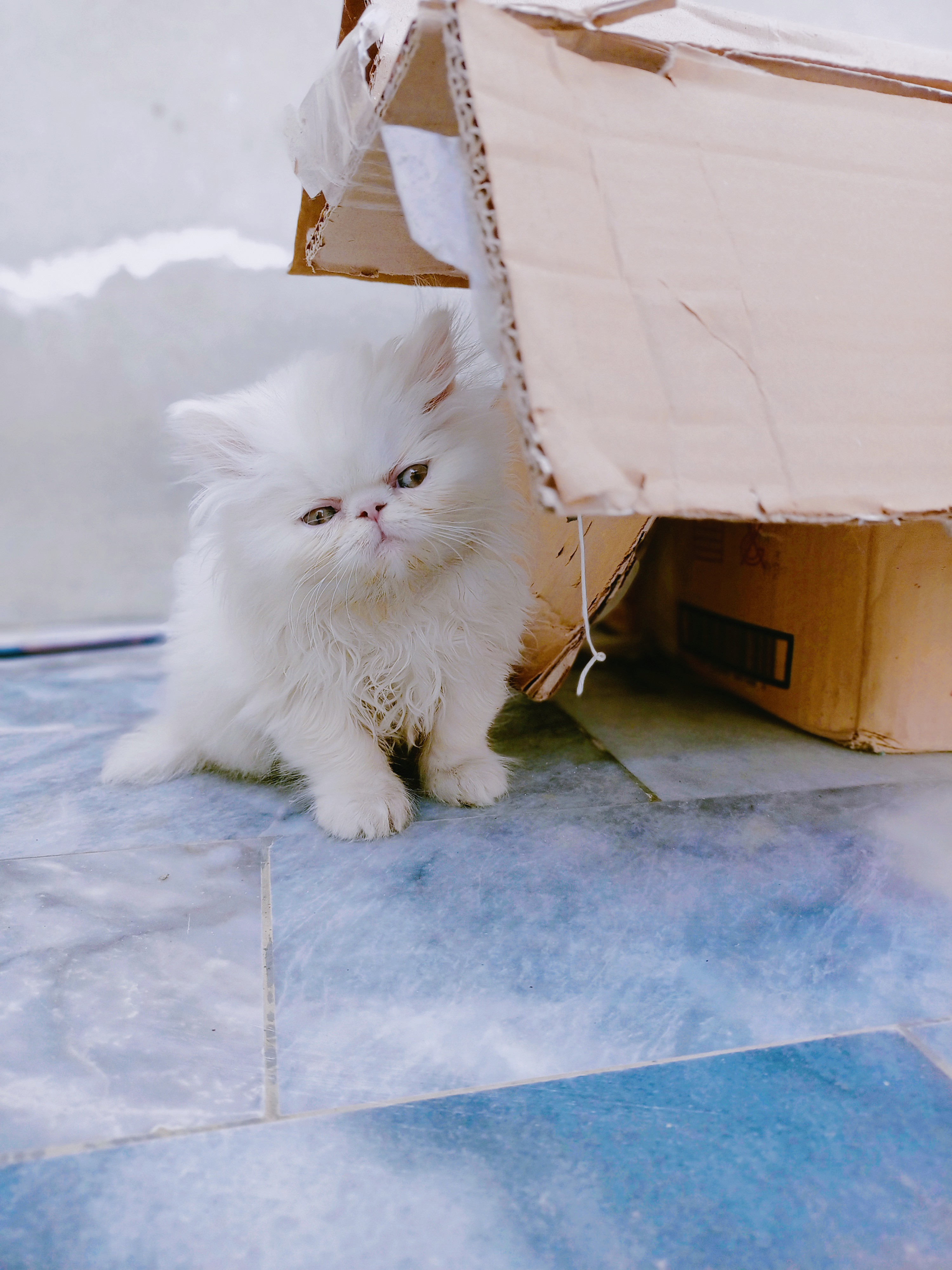 mocco - Cat - Buy and Sell Pets in Faisalabad