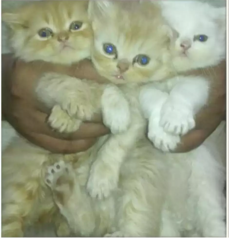 Caius- persian - buy cat online - Cat - Buy and Sell Pets in Lahore