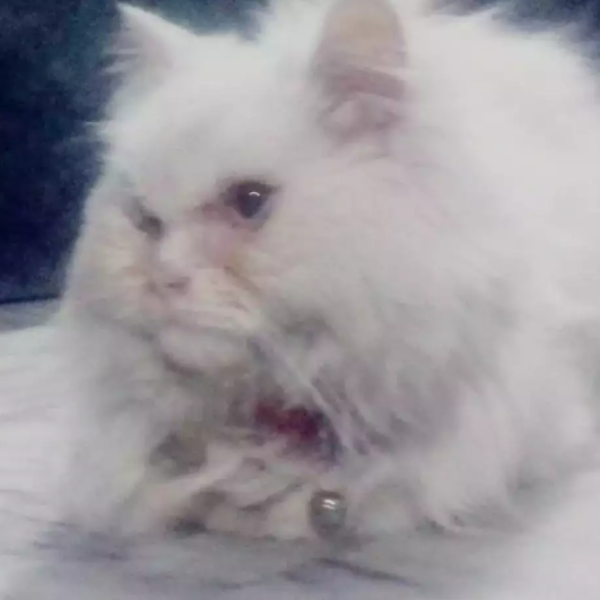 Cary - cat for sale - Cat - Buy and Sell Pets in Lahore