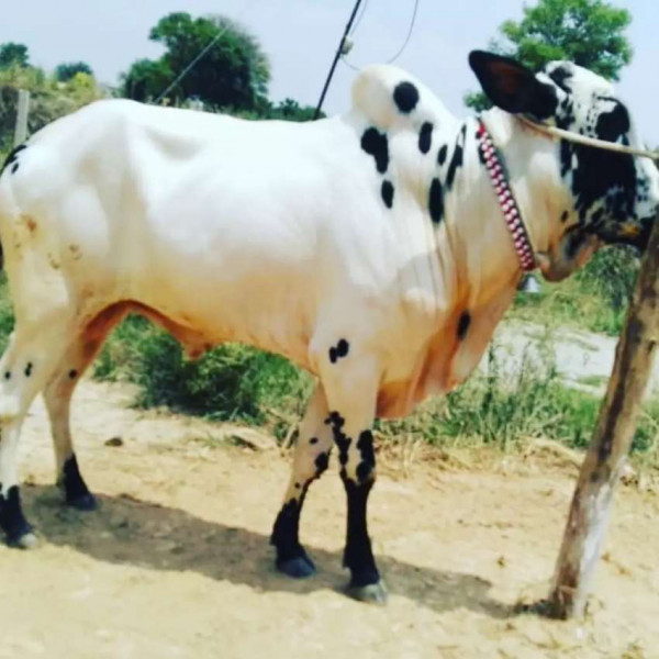 Cow ( Bail) - Cow - Buy and Sell Pets in Rawalpindi
