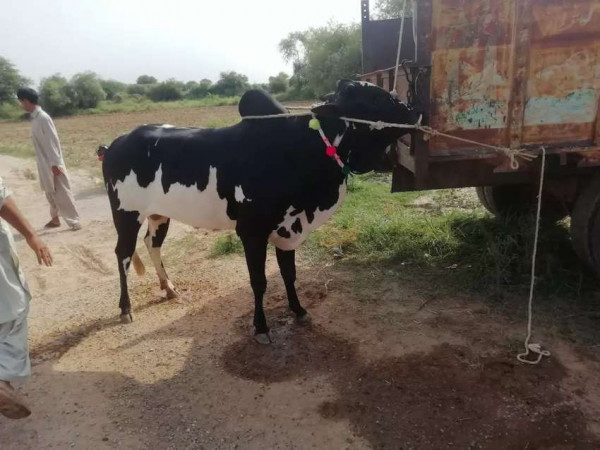 Cow - Cow - Buy and Sell Pets in Haripur
