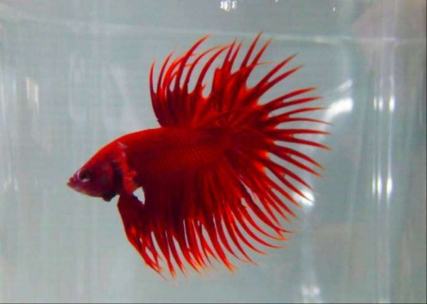 Crown Tail Beta - Fish - Buy and Sell Pets in Karachi