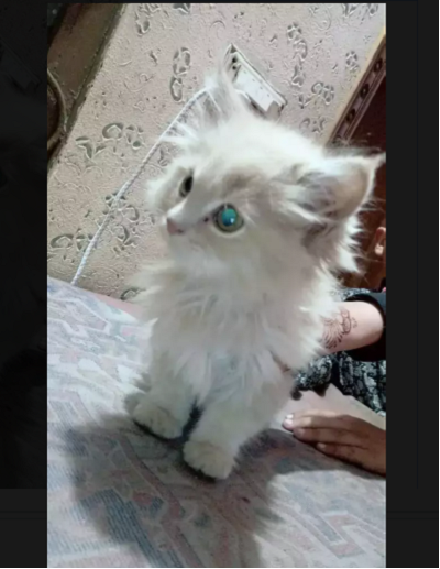 Tanicus - persian - buy kitten online - Cat - Buy and Sell Pets in Lahore