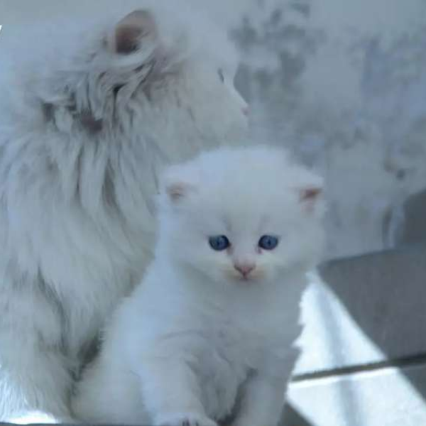 Presion kittens - Cat - Buy and Sell Pets in Faislabad