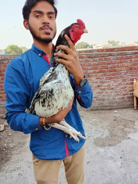 Aseel - Bird - Buy and Sell Pets in Lahore