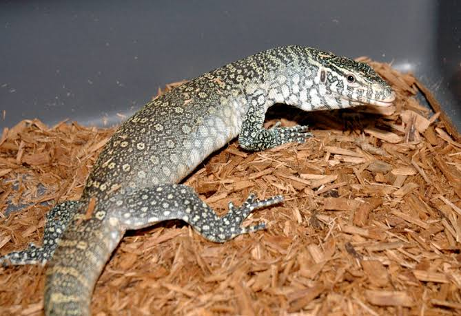 Iguana - Lizards & Iguana - Buy and Sell Pets in Sargodha