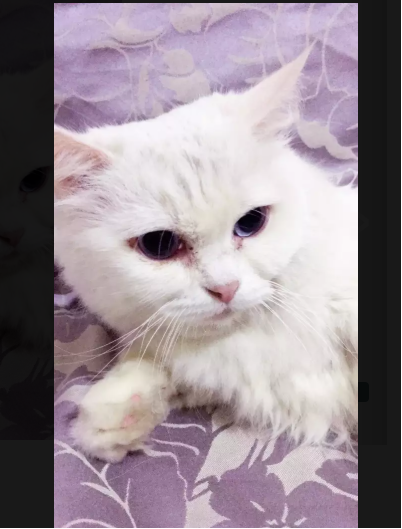 Bede - kitten for sale - Cat - Buy and Sell Pets in Lahore