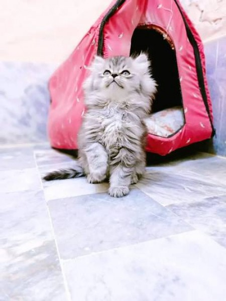 Persian - Cat - Buy and Sell Pets in Islamabad