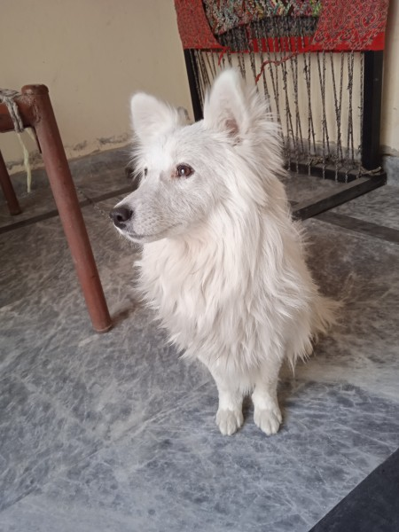 Russian dog - Dog - Buy and Sell Pets in Lahore