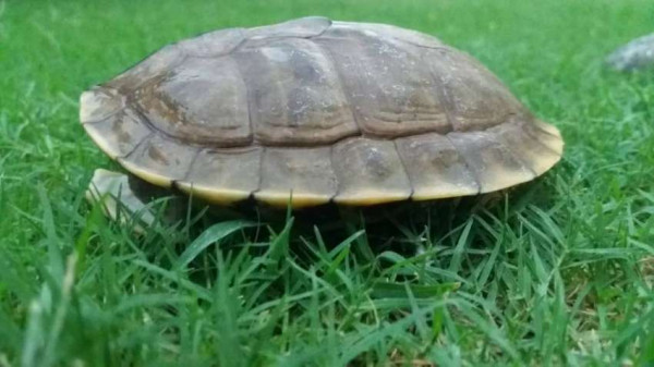 Indian Roofed Turtle Turtles Amp Tortoise Buy And Sell