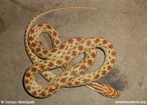 Snake - Snakes - Buy and Sell Pets in Karachi