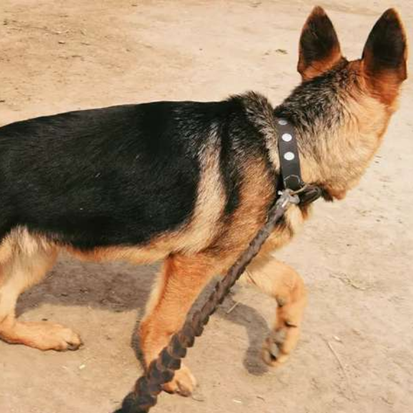 German Shepherd - Dog - Buy and Sell Pets in Faislabad