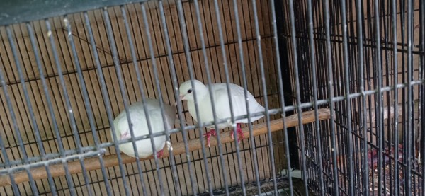 Bird - Bird - Buy and Sell Pets in Lahore