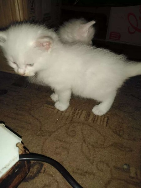 Persian kittens - Cat - Buy and Sell Pets in Lahore