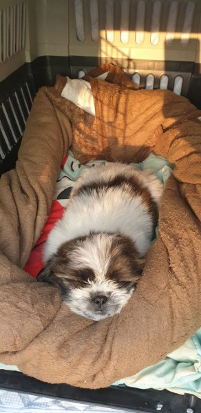 Shih Tzu Female - Dog - Buy and Sell Pets in Lahore
