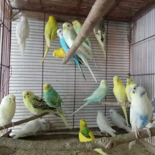 Chibi - Bird - Buy and Sell Pets in Karachi, Pakistan