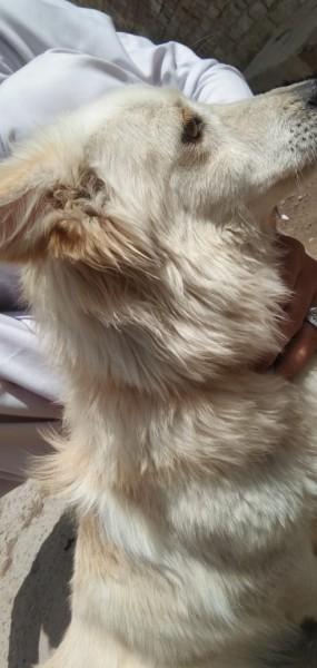 Russian dog - Dog - Buy and Sell Pets in Peshawar
