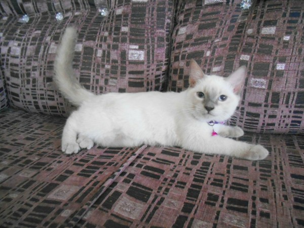Siamese kittens Pair - Cat - Buy and Sell Pets in Lahore