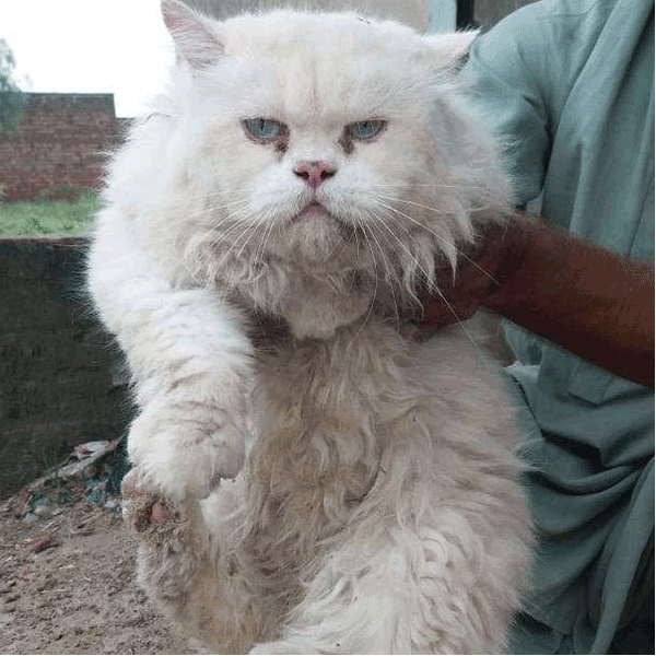 Persian Cat - Cat - Buy and Sell Pets in Lahore, Pakistan