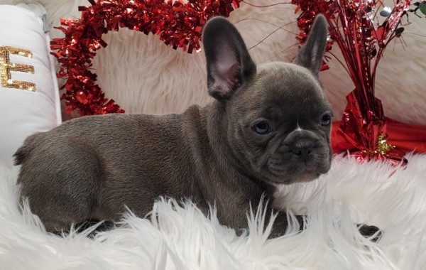 French Bulldog - Dog - Buy and Sell Pets in Akhtar Abad