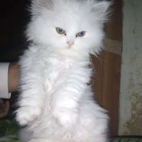 Pershion kitten - Cat - Buy and Sell Pets in Gujranwala