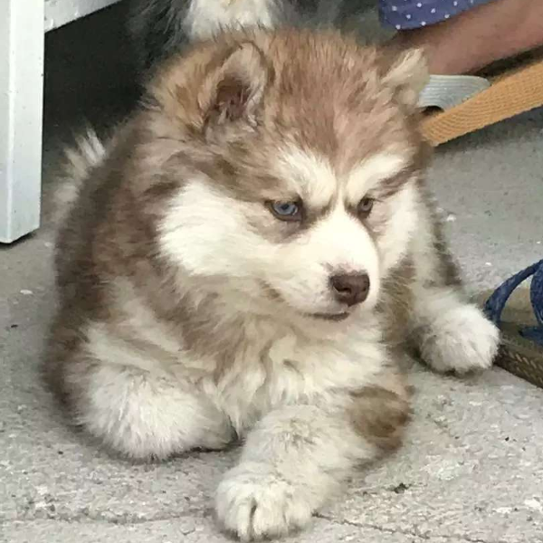 Husky Puppies - Dog - Buy and Sell Pets in Karachi