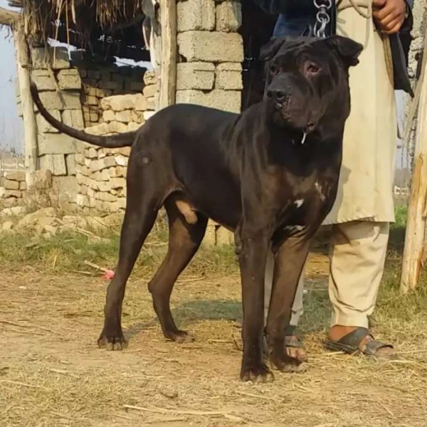 Bully - Dog - Buy and Sell Pets in Islamabad