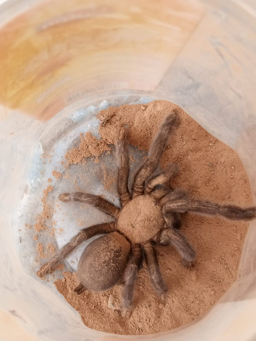 Spider - Snakes - Buy and Sell Pets in Rawalpindi