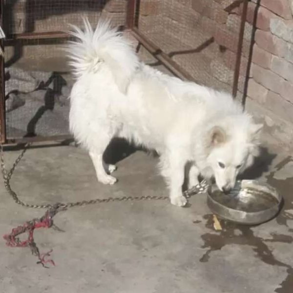 2 years male - Dog - Buy and Sell Pets in Mandi Bahauddin