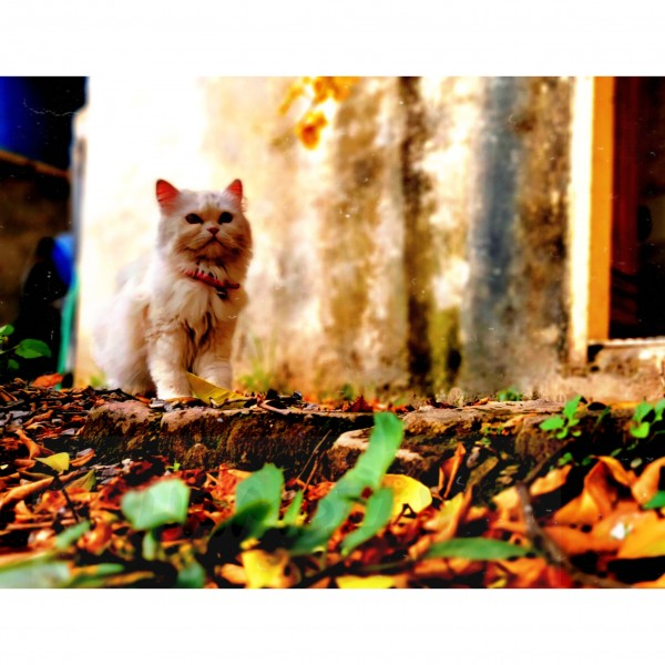 KRISTY - Cat - Buy and Sell Pets in Islamabad