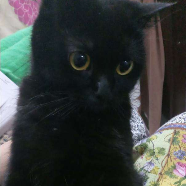 Siamese Black Cat Cat Buy And Sell Pets In Lahore Pakistan