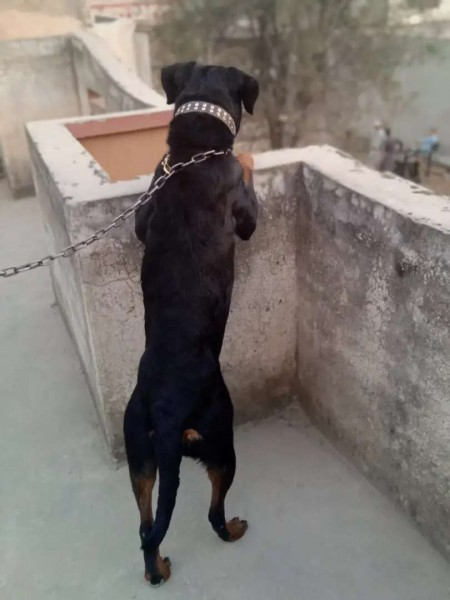 Rottweiler - Dog - Buy and Sell Pets in Rawalpindi