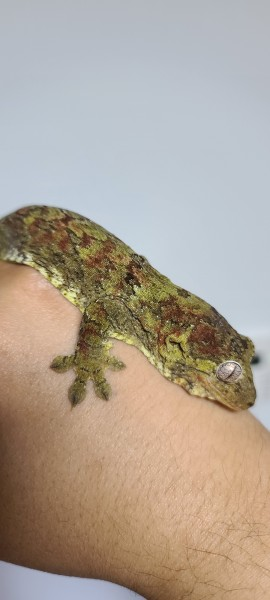 lizard - Lizards & Iguana - Buy and Sell Pets in Akhtar Abad