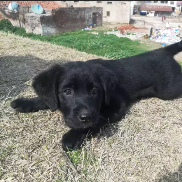 pup- puppy for sale - Dog - Buy and Sell Pets in Rawalpindi
