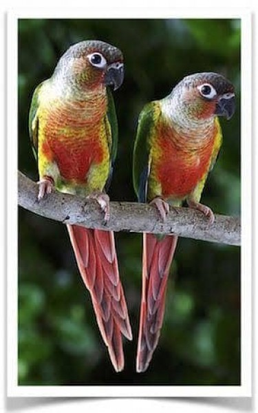 Yellow sided Conures - Bird - Buy and Sell Pets in Rawalpindi