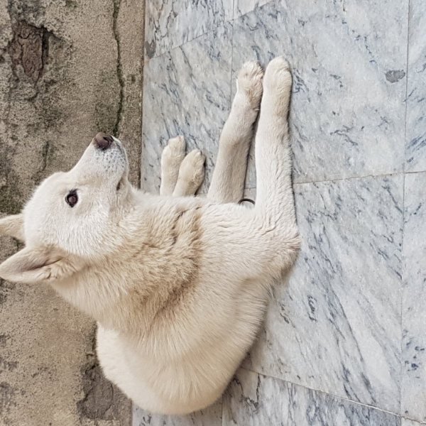 tokyo - Dog - Buy and Sell Pets in Abbottabad