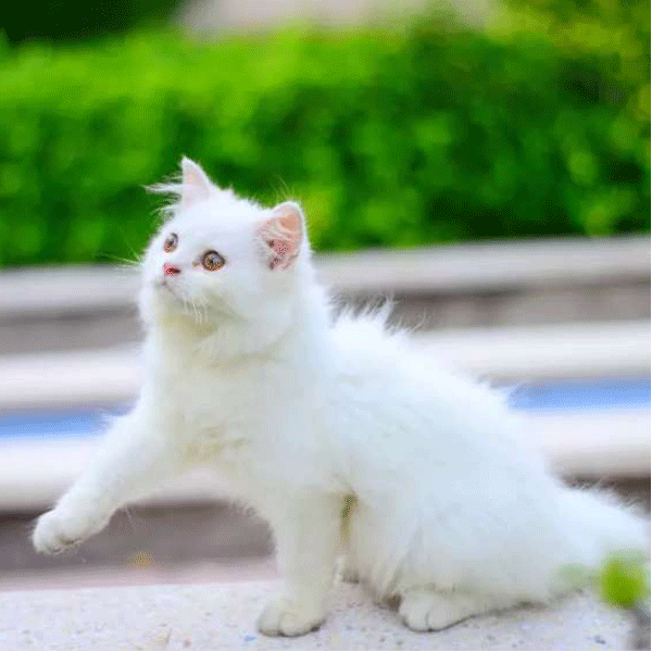 Persian Punch Face Kitten Cat Buy And Sell Pets In Lahore Pakistan