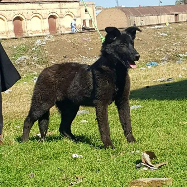 German Shepherd - Dog - Buy and Sell Pets in Abbottabad