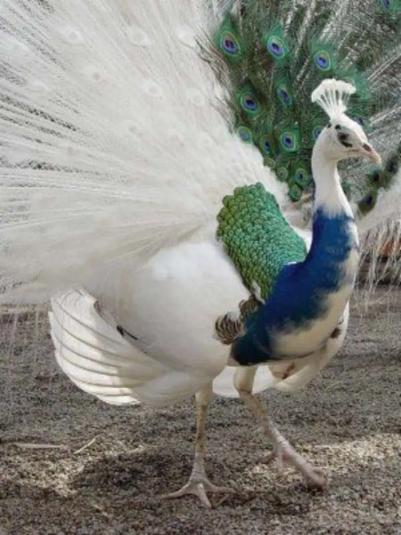 Peacok - Bird - Buy and Sell Pets in Lahore