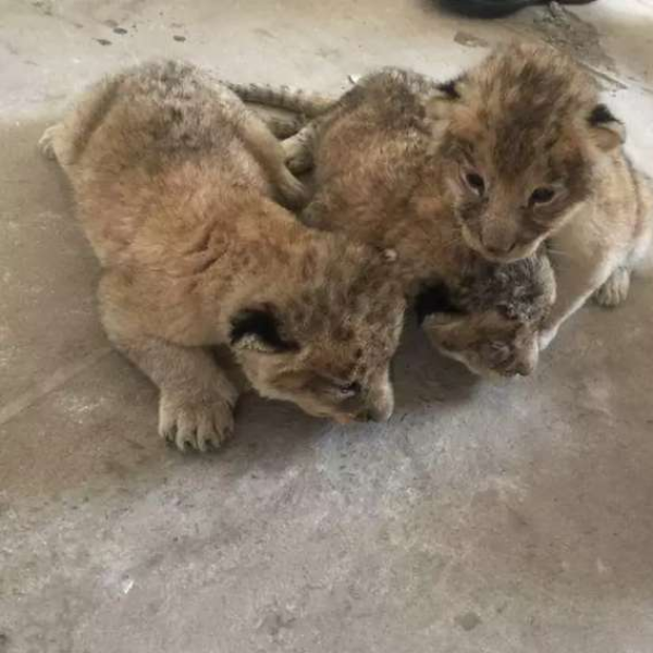 Lion cubs - Lion - Buy and Sell Pets in Lahore